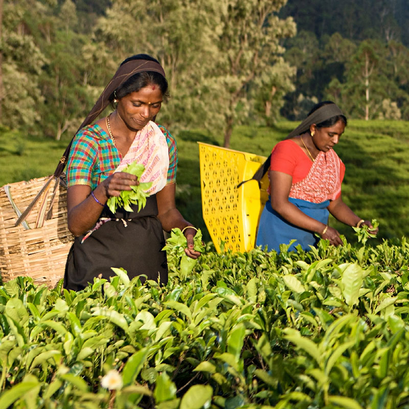 Women Picking Tea
